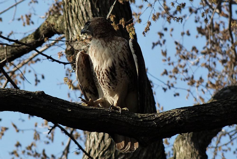 Tompkins Sq Park Hawk