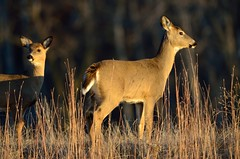 Doe and Fawn D7K_6706 by Mully410 * Images