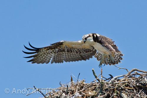 nest florida chick osprey marcoisland fledging tigertailbeach andymorffew morffew