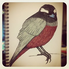 Sketch: white-browed woodswallow