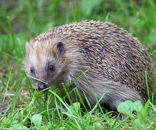 Hedgehog Curiosity