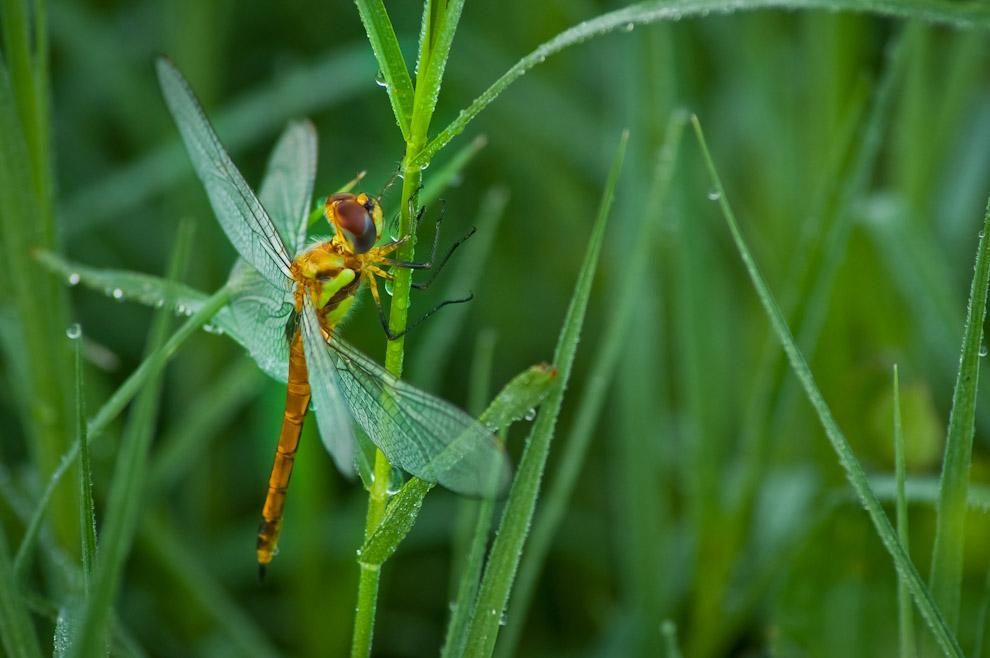 Un insecto que abunda en el Chaco son las libélulas, que durante las mañanas sobrevuelan los arbustos en busca de gotas de agua depositadas en las hojas producto del rocío. Como curiosidad acerca de las libélulas, cabe destacar que los machos poseen un órgano que tiene como función retirar el esperma que la hembra pudiera tener de la fecundación de otros machos, asegurando así su propia prole.  (Elton Núñez)