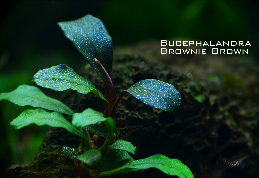 [Classify] Bucephalandra sp. Brownie varieties 6929544549 d275384477 b
