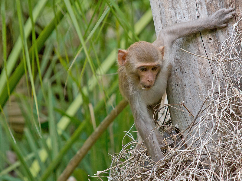 Young Rhesus
