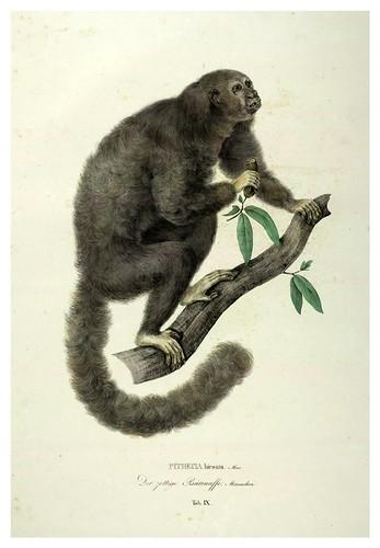 005-Simiarum et Vespertilionum Brasiliensium especies novae 1823- Baptist von Spix