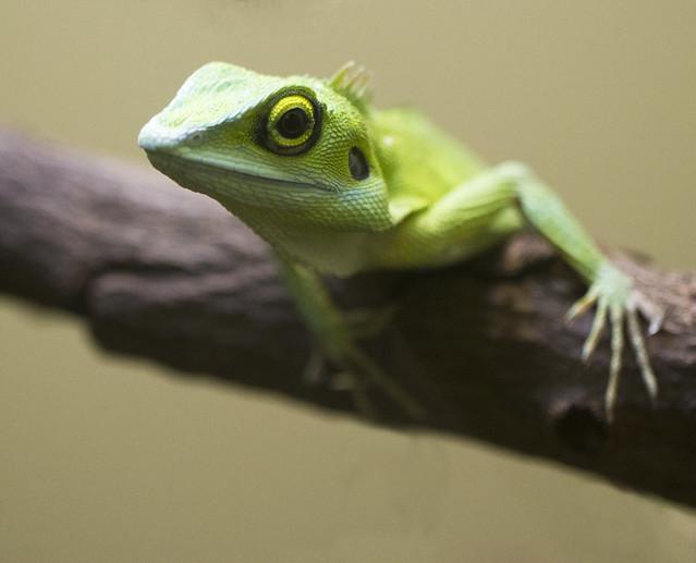 Green Crested Lizard | Explore San Diego Shooter's photos ...