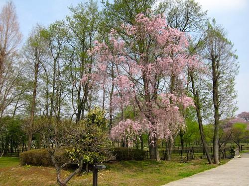 さきたま古墳枝垂桜