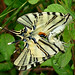 Scarce Swallowtail (David Ferguson)