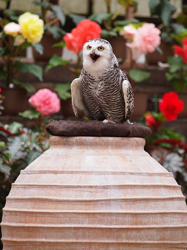 富士花鳥園 シロフクロウ