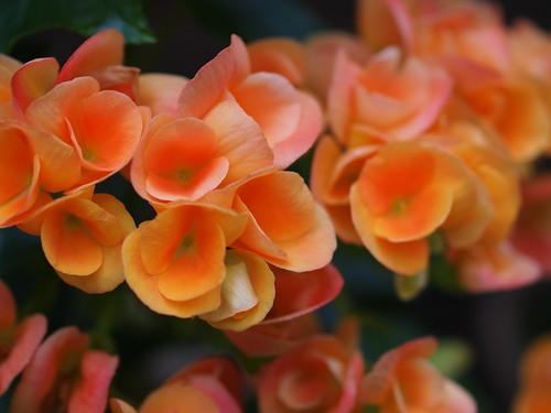 富士花鳥園 エラチオールベゴニア