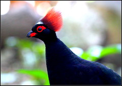 CRESTED WOOD-PARTRIDGE