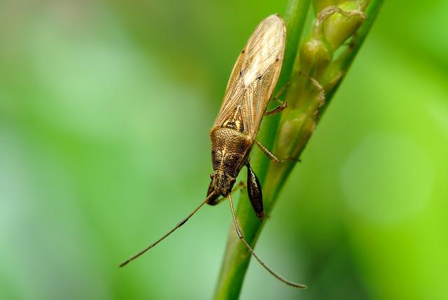Pachygrontha similis