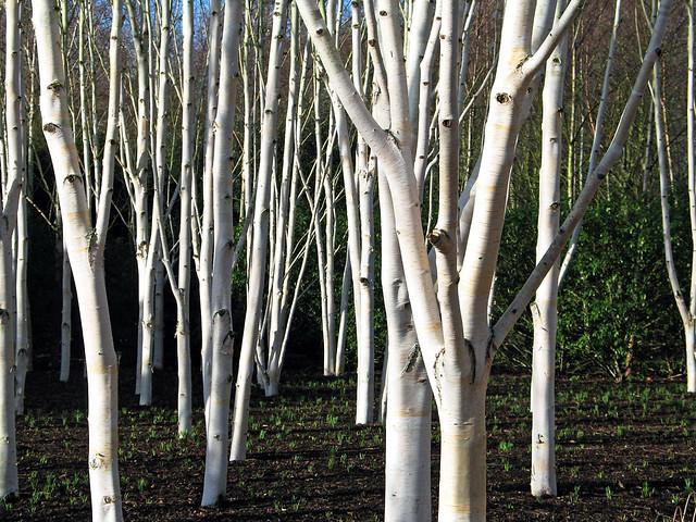 White Birch Trees | Flickr - Photo Sharing!