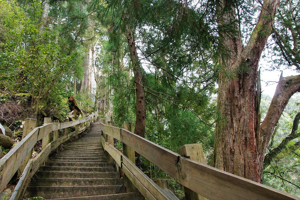 觀霧巨木步道-056