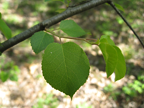 serviceberry leaf?
