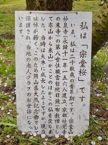 宗堂桜 #4