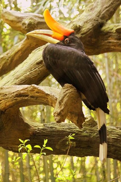 Rhinocerous Hornbill
