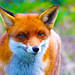 Red Fox by andrew.garn
