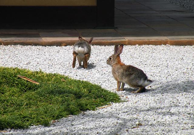 Japanese Garden Bunny Rabbits