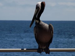 albatross(0.0), cormorant(0.0), animal(1.0), pelican(1.0), wing(1.0), fauna(1.0), beak(1.0), bird(1.0), seabird(1.0),