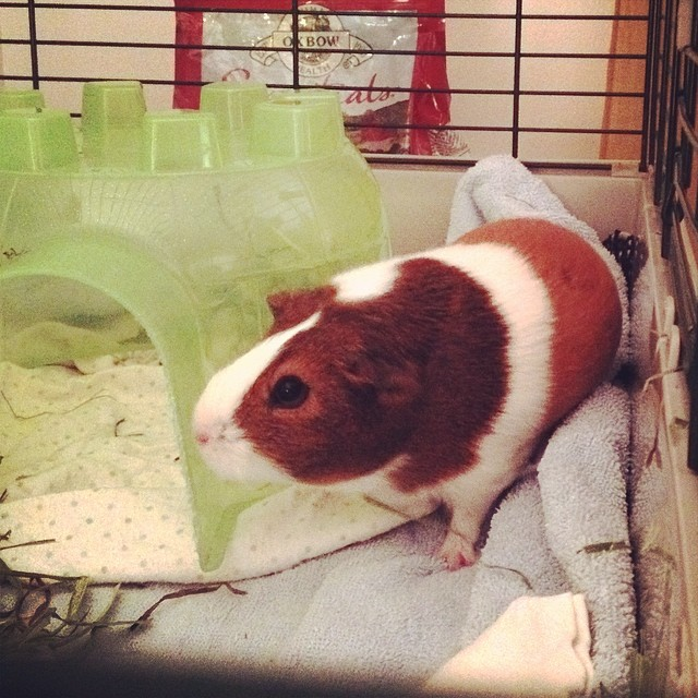 Since today was Random Day, why not adopt a third guinea pig from a friend in need? Welcome home, Claudia Rose, you are very sweet.