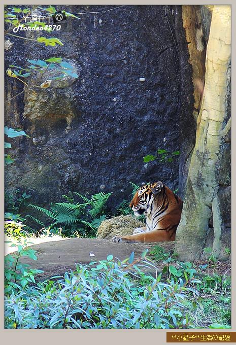 木柵動物園(圓仔)26