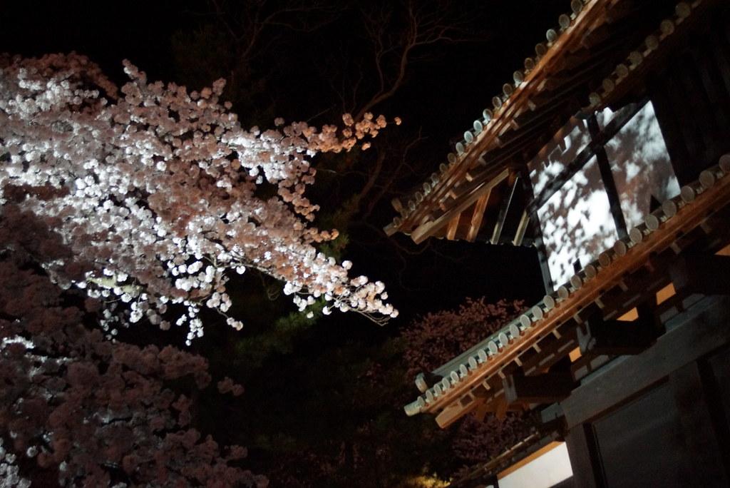 hirosaki_sakura017