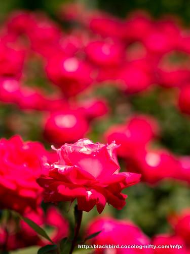 Rose #05