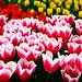 Spring Flowers (Keukenhof) by Torsten Reimer