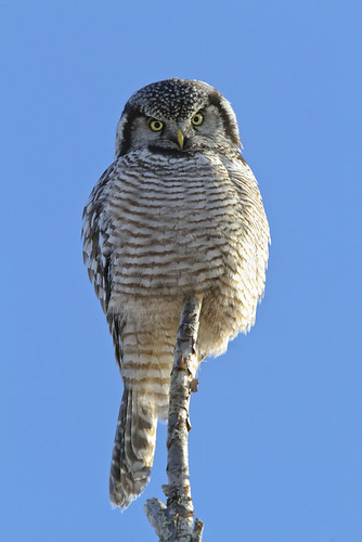 winter ontario canada bird ottawa birding owl birdwatching boreal hawkowl northernhawkowl surniaulula diurnal moosecreek 500mmf4 14xconverter chouetteépervière