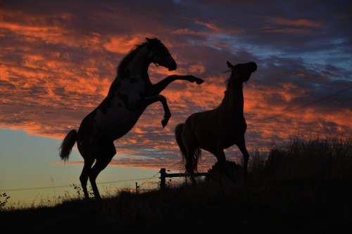 STALLIONS AT SUNSET