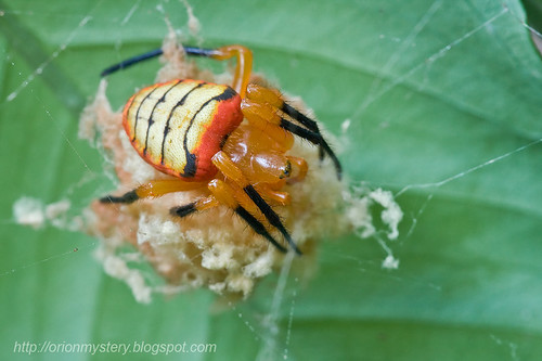 beautiful female orb weaver spider guarding egg sac IMG_0647 copy