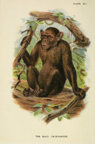 023-Chimpance calvo-A hand-book  to the primates-Volume 2-1896- Henry Ogg Forbes