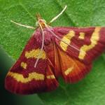 Coffee-loving Pyrausta Moth  - Pyrausta tyralis