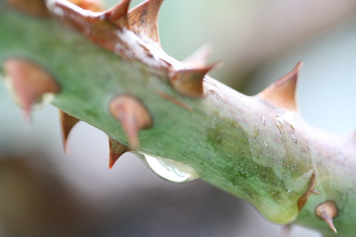 Thorns and a Waterdrop