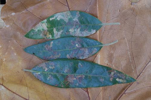 Ectoedemia heringella leaf mines