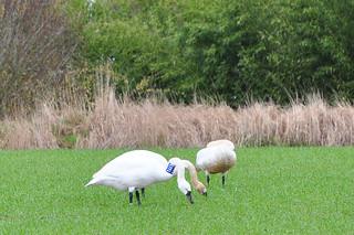 2012-03-17 Tundra Swan (02)  T662 (1024x680)