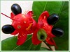 Ochna kirkii (Mickey Mouse Plant, Bird's Eye Bush
