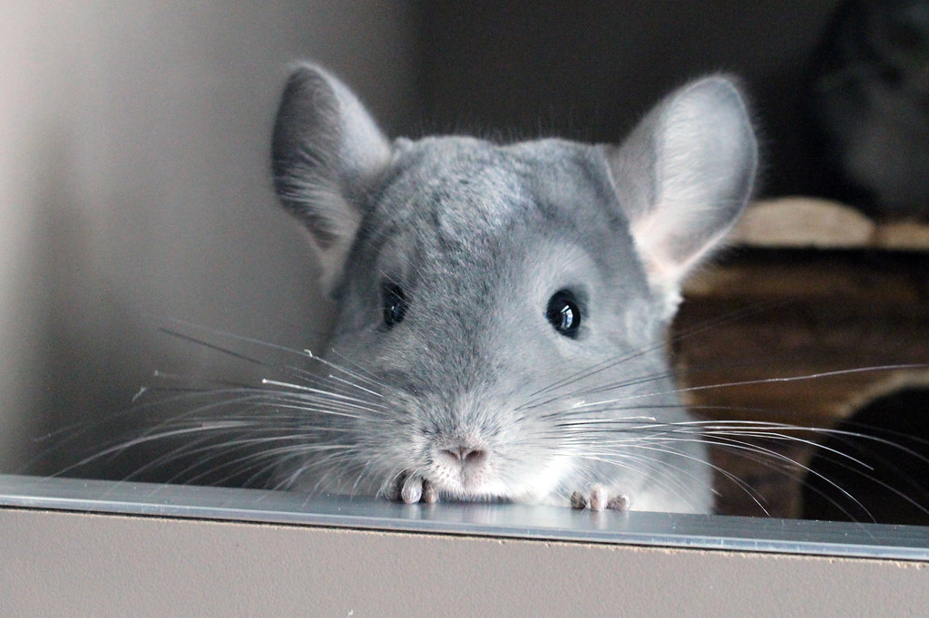 chinchilla, chinchillas