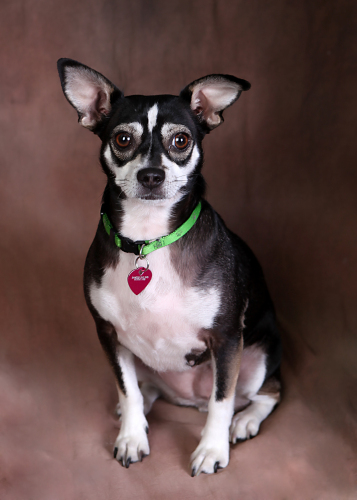 Bree Rat Terrier Chihuahua Mix Female Available A Photo On