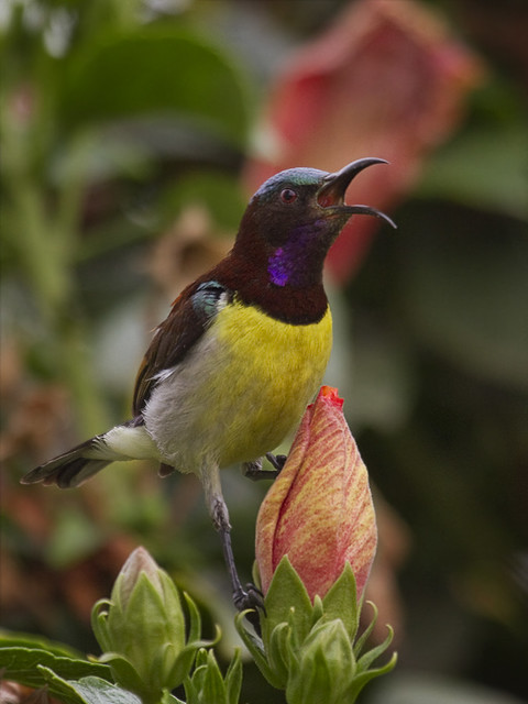 Purple-rumped Sunbird - Male