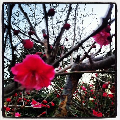先週に比べたらだいぶ花が咲いた庭の紅梅