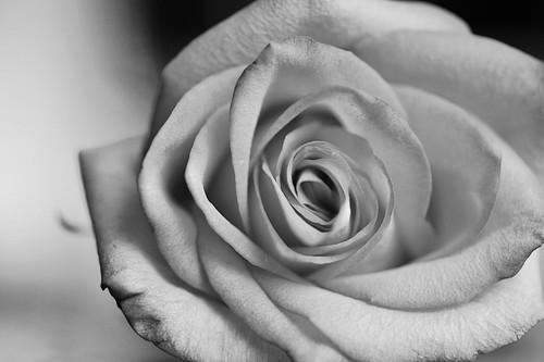 006 rose