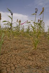Recurring droughts have destroyed most harvests in the Sahel. Credit:Kristin Palitza/IPS