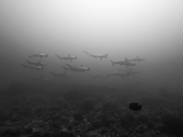 Escuela de tiburones martillo