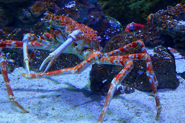 worlds largest crustacean giant spider crab essay Giant spider crabs are the largest known species of crustaceans in the world and can live up to 100 years terrifying spider crab migration.
