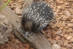 echidna, animal, porcupine, monotreme, fauna, wildlife,