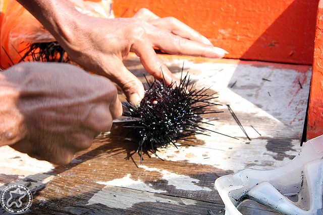Eating fresh sea urchins