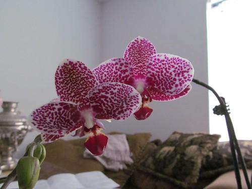 Doritaenopsis I-Hsin Sesame
