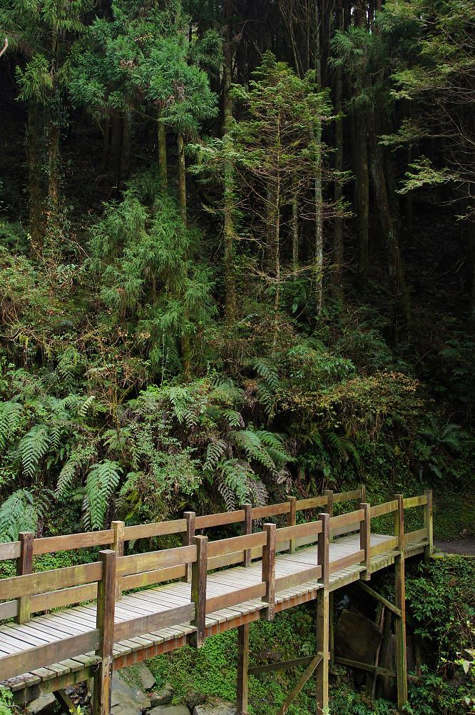 觀霧巨木步道-031